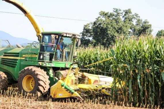 Collins and Stanley London cut silage at London Farms