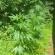 Three Marijuana Grows Located In White County
