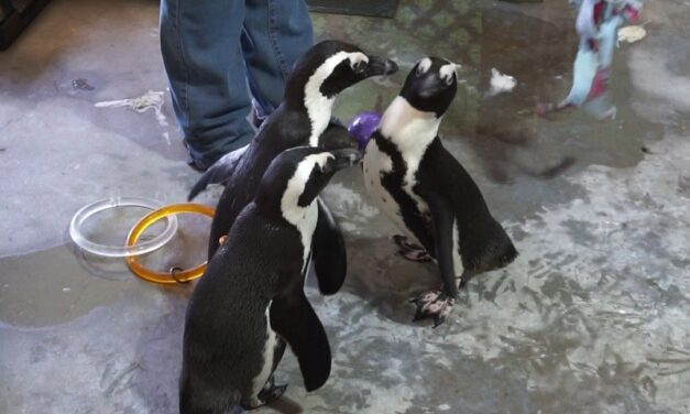 Penguins move in to North Georgia Zoo